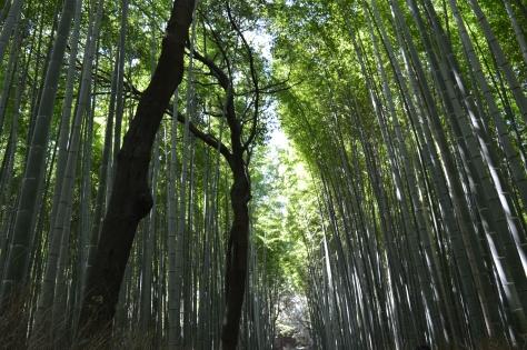 Bosque de bambus