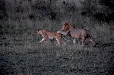 Leoes em Massai Mara