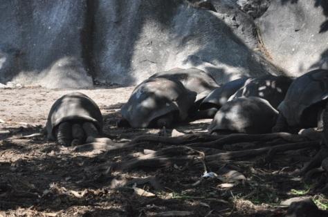 Tartarugas de La Digue